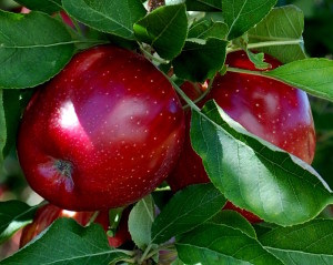 Beautiful red delicious!