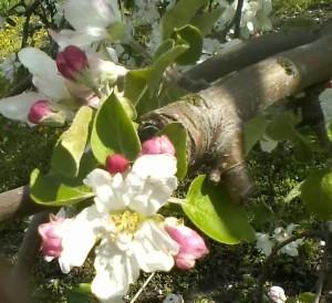 Full bloom of an 'Anoka' apple blossom.