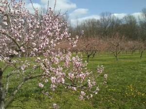 2013 Peach Bloom