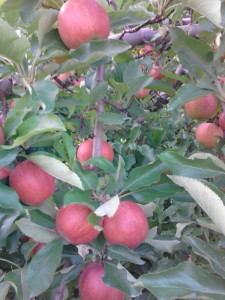 'Gala' apples in July. Excellent coloring is due to mild summer temperatures.
